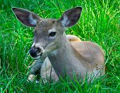 picture of bestiality  - this is a young doe resting on the grass - JPG
