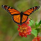 stock photo of monarch butterfly  - A colourful Monarch butterfly with wings spread collecting pollen from a lantana flower - JPG