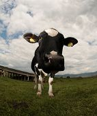 Cow (intentionally distorted by a fisheye lens)