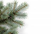 Spruce Bough