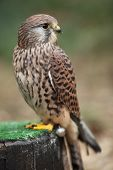 Common Kestrel - Falco tinnunculus - close-up view of this beautiful bird