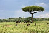 African Landscape With Wildebeest