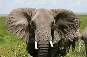 African Elephant Amboseli Kenya