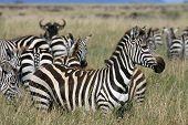 Zebra Serengeti Tanzania
