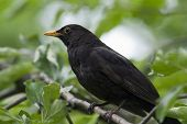 Male Blackbird Close-Up
