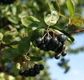 Black ashberry/ Black rowan /Black chokeberry (Aronia melanocarpa) - branches of the tree in the gar