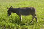 pic of jack-ass  - a grey brown donkey or ass grazing on grass in a lush green field - JPG