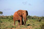 Red Elephant Tsavo East National Park Kenya