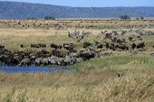 African Landscape With Migrating Wildebeast And Zebra