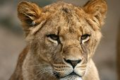 Lion In Masai Mara Kenya