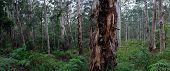 Karri árboles en el bosque de Boranup - Margaret River, Australia occidental