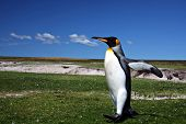 King Penguin at Volunteer Point on the Falkland Islands