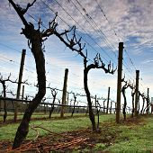 Winter Grape Vines in Tasmania's Tamar Valley