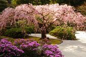 foto of cherry blossom  - Cherry blossoms and azaleas bloom in the spring - JPG