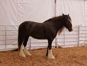 Black Horse -White Feet