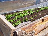 Early Gardening In A Cold Frame
