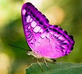 pink butterfly on a green leaf