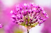 image of violet flower  - abstract violet flowers on field - JPG