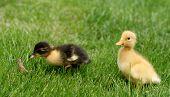 Cute Little Ducklings poster