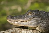 Wild American gator sunning on a log next on the river