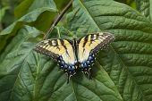 Постер, плакат: Тигр Swallowtail бабочка на лист