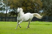 pic of running horse  - Beautiful Horses 24 - JPG