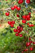 Fresh Ripe Sour Cherry Hanging On Cherry Tree, Ingredient For Cherry Pie Or Jam poster
