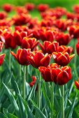 Red Tulip Flowers Field