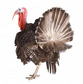 stock photo of pecker  - turkey cock isolate on white - JPG