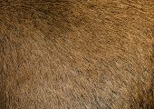 Brown Hair Goat Skin - Real Genuine Natural Fur, Free Space For Text. Goat Fur Close Up. Texture Of  poster