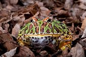 Ornate horned frog sitting in dead leaves
