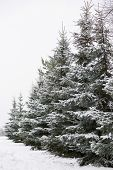 Snowy Evergreen Trees In The Open Air. Preparing To Decorate Evergreen Trees With Christmas Decorati poster