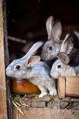 Rabbits eating grass inside a wooden hutch (European Rabbit - Oryctolagus cuniculus)