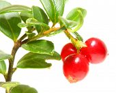 The Cranberry (Vaccinium vitis-idaea) has been used as an astringent,  disinfectant/antiseptic, a di