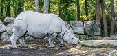Indian Rhinoceros Closeup Animal Portrait Or A Rare Endangered Animal Species poster