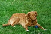 My dog   - â?? Nova Scotia Duck Tolling retriever â??