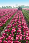 tractor afield that the truncated tulip