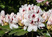 Rhododendron Hybrid Picobelo (rhododendron Hybrid), Close Up Of The Flower Head poster