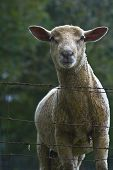 Cute Sheep Of Normandy