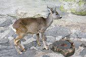 Young Deer In Zoo