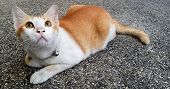 Wondering Orange And White Cat Lays Down On The Street And Gazing Something. poster