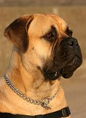 image of bull-mastiff  - The profile of a Bull Mastiff dog - JPG