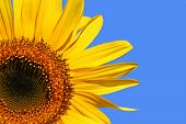 Three quarter section of a sunflower against a blue sky.