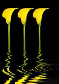 Abstract of three yellow arum lily flowers with reflection over rippled water, over black background.