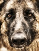 Closeup portrait of german shepherd, cute adult domestic animal, best friend for human, beautiful pe