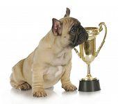 winning dog - french bulldog puppy sitting beside trophy - 8 week old frenchie puppy