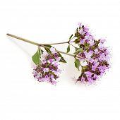 Floración orégano o hierbas de mejorana (origanum majorana) aislado en blanco