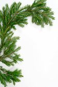 Fir Tree Zweig,