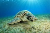 Green Turtle grazing on sea grass at Abu Dabbab, Marsa Alam, Egypt