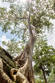 One of the famous big old trees growing in Ta Prohm Temple at Angkor, Siem Reap Province, Cambodia. Tetrameles nudiflora species.